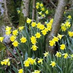 Naturalising Flower Bulbs - Collection: A superb selection of flower bulb varieties which will flower from February-May, ideal for beds and borders, patio pots and containers featuring: Crocus Botanical Mi… - Dobies Garden Bulbs, Planting Bulbs, Planting Flowers, Deciduous Trees, Trees And Shrubs, Tall Plants, Live Plants, English Bluebells, Sutton Seeds