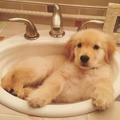 Some of the things we all like about the Outgoing Golden Retriever Puppy Dogs Golden Retriever, Retriever Puppy, Golden Retrievers, Cute Puppies, Cute Dogs, Dogs And Puppies, Doggies, Puppies Stuff, Puggle Puppies