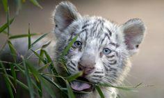 Drie maand  oude  witte Bengaalse tijger welp (© Natacha Pisarenko/AP Photo)Zoo Buenos Aires 2014