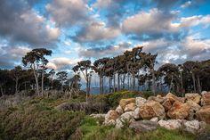 Rimu trees, West Coast, New Zealand
