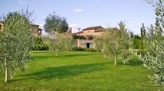 The small olive grove