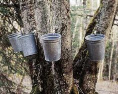 Birch/Betula pendula sap is used as a cleansing tonic, most effective as apart of a spring time detox. Picture by 'Birch Boy'  producer of fine alaskan Birch syrup