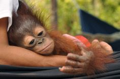 Sura, a four-month-old Orangutan is recovering after having the tips of his fingers hacked off, allegedly during forest clearances for a new palm oil plantation in Indonesian Borneo. I prefer to not buy palm oil products. Primates, Cute Baby Animals, Animals And Pets, Animal Pictures, Cool Pictures, Baby Orangutan, Ape Monkey, Mundo Animal, Animal Rights