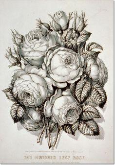hundred-leaf-rose.jpg (350×500)