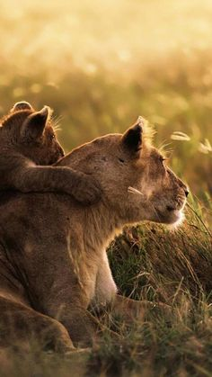 African Lion and Lion Cub Lion Pictures, Cute Animal Pictures, Nature Animals, Animals And Pets, Beautiful Cats, Animals Beautiful, Big Cats, Cats And Kittens, Amazing Animals