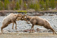 Bighorn sheep. I would love to see a fight between 2 in my life time! Bucket list must!