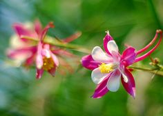 """columbine """"shooting stars"""". This flower shows that even in places with horrible histories beauty and light can stay get in."""