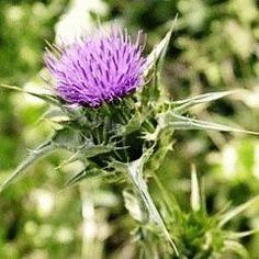 OSTROPESTŘEC MARIÁNSKÝ - Silymarin - ochrana a regenerace jater Herbs, Plants, Food, Fitness, Essen, Herb, Meals, Plant, Yemek
