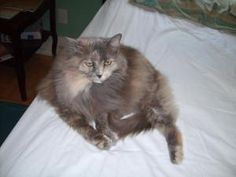 TRUDY is an adoptable Domestic Long Hair Cat in Homewood, AL. Long Haired Cats, Old Cats, House In The Woods, Fur Babies, Adoption, Beautiful Beautiful, Pets, Animals, Foster Care Adoption