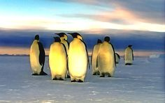A group of cute penguins walking in an arctic landscape