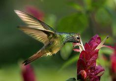 Buff-bellied hummingbird (Amazilia yucatanensis)- Colibri Yucateco- nectaring on Shrimp Flowers, Castellow Hammock Nature Preserve, Redlands, Florida. - pedro lastra