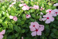 120 Live Vinca Cora Apricot Flower Plants Starter Home Garden Plant
