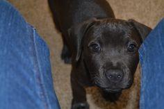 Lab pit hound mix