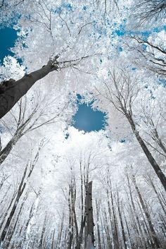 Snowy Trees Looking Up