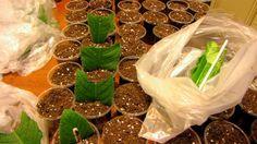 Быстро, дешево и много садим листья фиалок, стрепсов