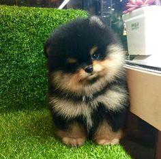 He looks like hank! #Pomeranian