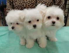 The boys ... Oacar, Kirby, and Jethro after their first bath and groom. Maltese puppies!