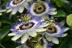 Passiebloem Passiflora (blauwe passiebloem)