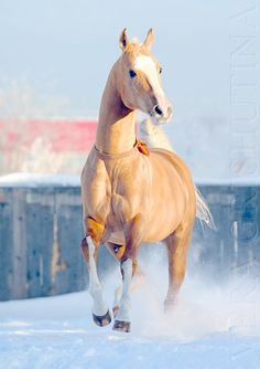 What are you doing in the snow you silly Akhal Teke. you belong in the desert!