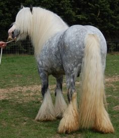 This would be very similar to what my ancestors lived with. Root Lipizzan colour yet clearly a cob or light draft horse.  Photo of Platinum,  a Gypsy Cob Horse  from Vine's Gypsy Horses.