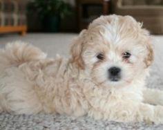 Shih Poo. Looks a lot like my Romeo :)