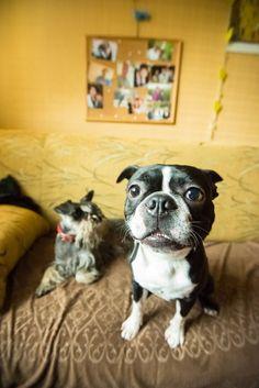 Boston Terrier, Miniature Schnauzer