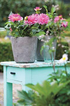 Kaum eine Blume heißen wir in unseren sommerlichen Gärten so herzlich willkommen wie die Dahlie. Die hübsche Einwanderin aus Mexiko mit ihren vielseitigen bunten Gesichtern ist es wert, dass man sich frühzeitig um ihre Blütenpracht bemüht. Am besten, wenn man sie jetzt in Töpfen vorzieht!