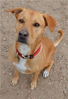 labrador rhodesian ridgeback mix - This is definitely what Dino is :) he looks almost identical