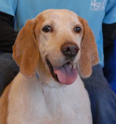 Rusty is a baby-faced older boy who is housetrained and terrific with children, dogs, and cats.  He is an English Coonhound (perhaps a mix), about 9 years of age and neutered, debuting for adoption today at Nevada SPCA (www.nevadaspca.org).  Rusty is a big, gentle boy with a terrific temperament!  He needed us when his previous owner died.  Rusty would love to share his sunny nature with someone who will appreciate him and treat him with love and kindness.  Please help find Rusty a hero.
