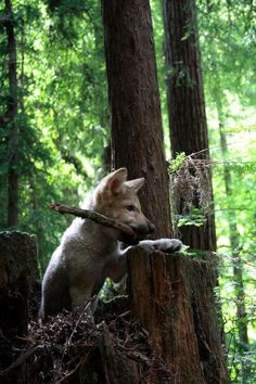 Wolf pup in forest More