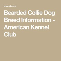 Bearded Collie Dog Breed Information - American Kennel Club