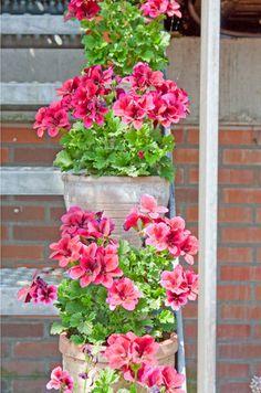 Cheerful geraniums