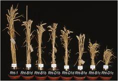 It ain't Rhight | Wheat Belly Blog