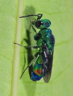 ˚Cuckoo wasp (Chrysididae) - St. John's Island, Singapore  by Arthur Anker @ Flickr