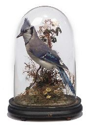 Taxidermy bird model of an American Blue Jay, contained for display in a domed glass. Late 19th century/America's Gilded Age era. ~ {cwlyons} ~ (Image: Christie's Auction)