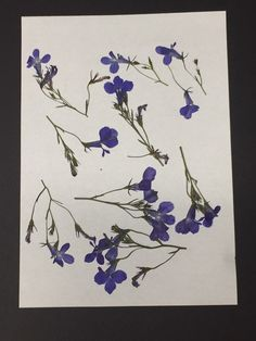 REAL PRESSED FLOWERS 20 BLUE LOBELIA ON STEMS IDEAL 4 CARD MAKING /& FLORAL CRAFT