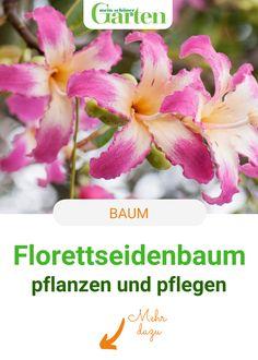 """""""Wintermagnolie"""" nennt man den Florettseidenbaum, eine Kübelpflanze aus den Subtropen, wegen der pinkfarbenen, orchideenähnlichen Blüten auch. Wenn ihr diese Tipps zur Pflege beachtet, fühlt sich der Baum im Topf rundum wohl. #baum #florettseidenbaum #blueten #meinschoenergarten Plants, Orchids, Silk, Tree Structure, Nursing Care, Tips, Nice Asses, Plant, Planets"""