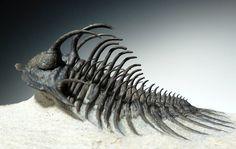spiny trilobites - Google Search