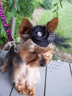 What Yorkie does not like a royal hat?