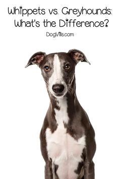 Whippets and Greyhounds are both wonderful dog breeds that are often confused for each other. Learn the difference between them! Racing Dogs, Whippet Dog, America And Canada, Grey Hound Dog, Aggressive Dog, Whippets, Pet Care Tips, Greyhounds, Hunting Dogs