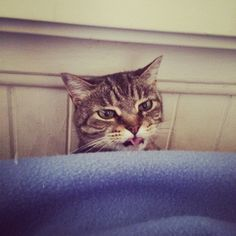 30 Cute Cats Sticking Their Tongues Out | http://mycatcentral.com/cute-cats-sticking-tongue/