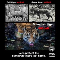 There are as few as 400 Sumatran tigers left in Indonesia's forests. Why? Because the beautiful forests of that Sumatran tigers call home are being destroyed for palm oil production.   SHARE this is you're ready to step up and protect their home! Join the Tiger Manifesto here: https://www.greenpeace.org.au/action/?cid=62&src=PI
