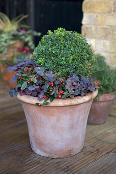 Pot for November colour: Gaultheria procumbens, box, Heuchera 'Midnight Blue' and Heuchera 'Coral Bells'. Photo by Sarah Cuttle. Read more about box uses here http://www.gardenersworld.com/plants/buxus-sempervirens/2705.html
