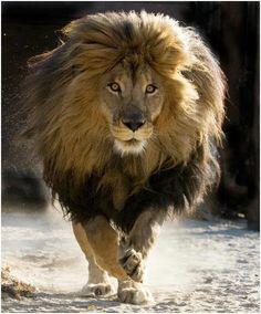 La force de caractère que l'on voit bien de ce lion me donne tout simplement, moi aussi le goût de foncer !!