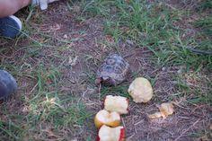 Una de las tortugas de tierra sale a comer.