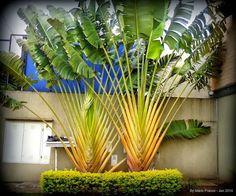 Q' Planta é Essa?: Bananeira Ornamental