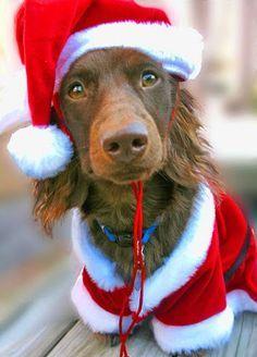 Resultado de imagem para foto de cães a mesa natal