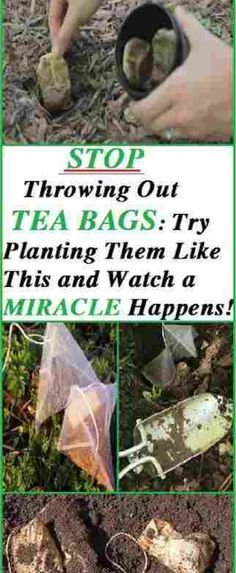 Firstly and most importantly we will tell you how to reuse the tea bags by planting them into the soil. You should definitely know this trick even if you are not a gardener, just in case you want to plant something in your garden or backyard. #garden #bags #backyard