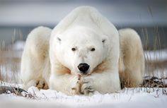 Polar Bear In Canada Photography By: Alberto Ghizzi Panizza