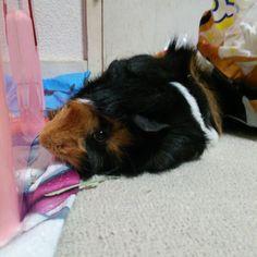 @pmouse_  ジジさん、モコちゃん、モミちゃん、こんばんは☆ モコちゃんもモミちゃんも快適そうですね( *˘╰╯˘*) ごんたは、くつろいでます(´ω`)